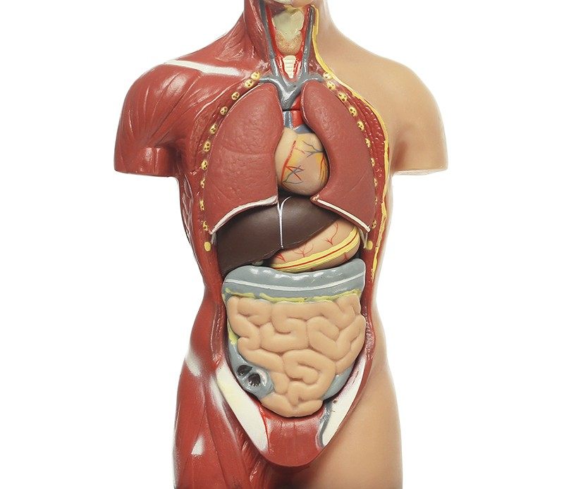 kroppens anatomi og fysiologi